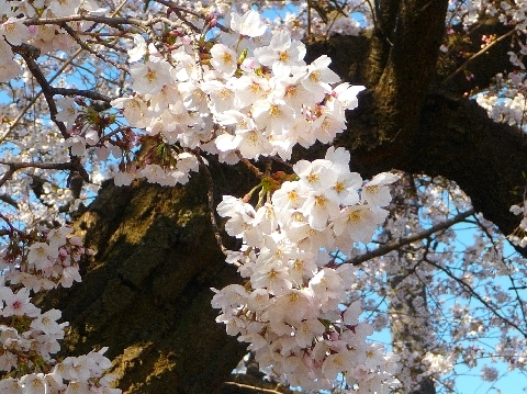 2012 4月8日桜 069.jpg