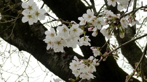 2013 3月19日桜開花 025.jpg
