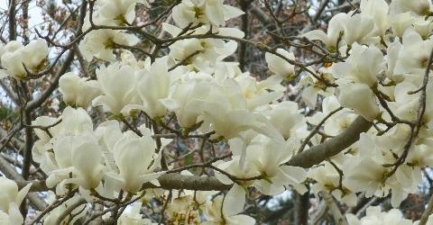 2013 3月19日桜開花 114.jpg