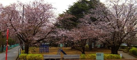 2013 3月19日桜開花 131.jpg