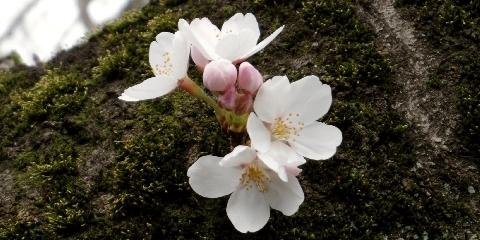 2013 3月19日桜開花 170.jpg