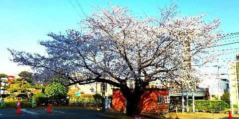 2013 3月23日桜 033.jpg