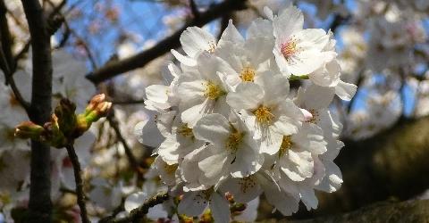 2013 3月23日桜 045.jpg