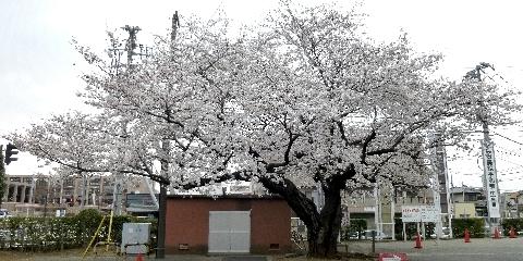 2013 3月23日桜 107.jpg